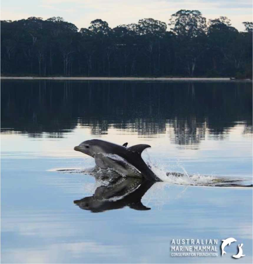 burrunan dolphins in Gippsland Lakes